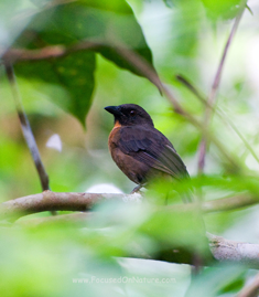 Black-cheeked Ant-Tanager (Habia atrimaxillaris)