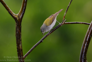 Tennessee Warbler, Oreothlypis peregrina, Osa Birds, Research, Osa Research, Osa Conservation, Avian Conservation, bird conservation, Osa, Osa Peninsula, Osa Education, education, avian monitoring