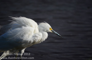 Snowy Egret by Don Filipiak