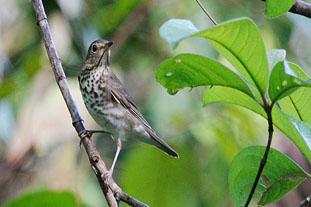 Migratory birds leave the Osa/La Ida de las Aves Migratorias