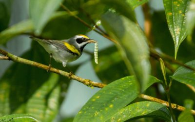 Featured Bird: Golden-winged Warbler