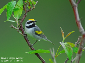 Golden-winged Warbler (Vermivora chrysoptera) by Dennis E Malueg