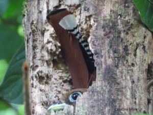 Black-throated Trogon (Trogon rufus) female courteous of Cataline Mora