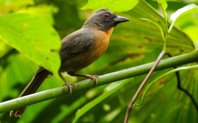 Featured Bird: Black-cheeked Ant-Tanager