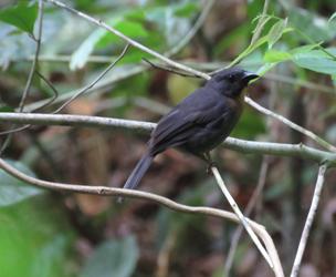 Habia atrimaxillaris: Un ave endemica y en peligro en Osa