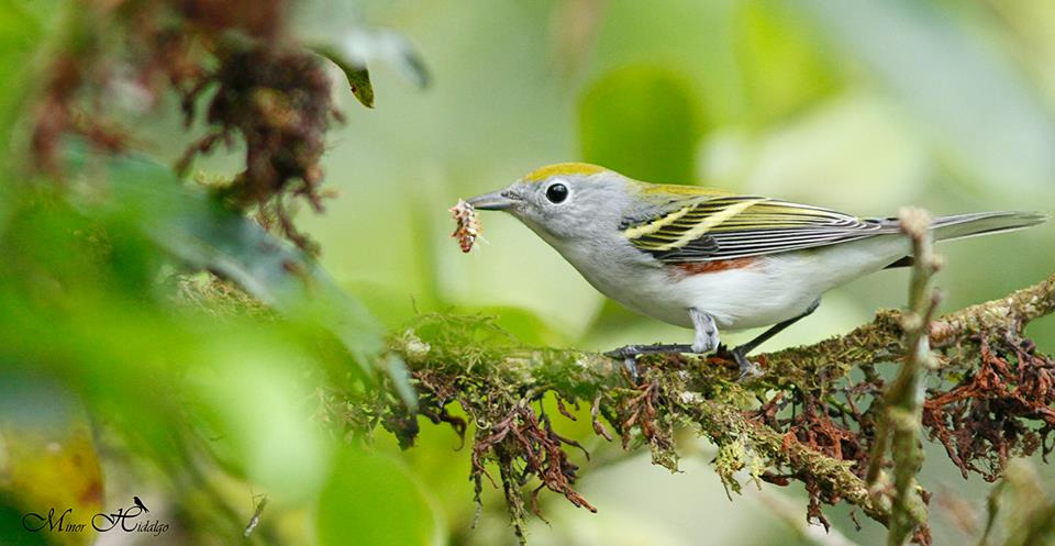 Featured Bird: Chestnut-sided Warbler
